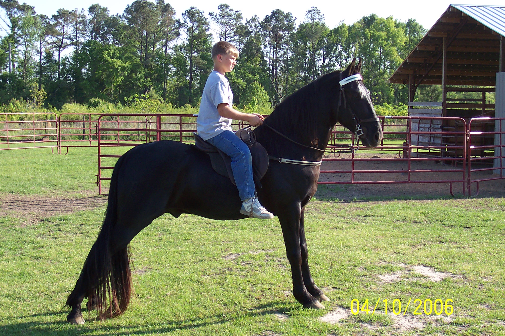 This Is Rocky Our Registered Tennessee Walking Horse Stallion He Five Years Old And Just A Wonderful Also Racking